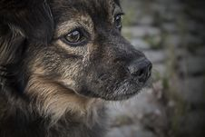 Free Portrait Of Brown Dog Stock Images - 82953664