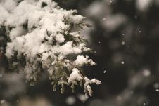 Free Pine Tree Leaf Cover In Snow Royalty Free Stock Images - 82953759