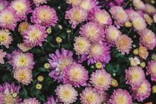 Free Purple And Yellow Mums Stock Images - 82953794