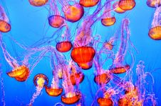 Free Jellyfish In Blue Waters Royalty Free Stock Photography - 82954327