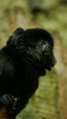 Free Outdoor Monkey Portrait Stock Photos - 82954333