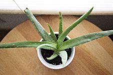 Free Aloe Vera Plant On White Pot Royalty Free Stock Photo - 82954365