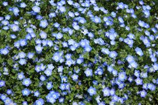 Free Blue Wildflowers In Field Royalty Free Stock Images - 82954519
