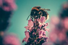 Free Bee On Pink Flower Stock Photo - 82955040