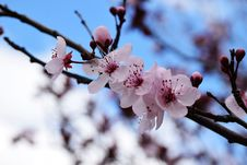 Free Pink Flowers On Branch Royalty Free Stock Image - 82955236