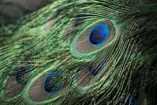 Free Peacock Feathers Stock Photo - 82955320