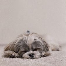 Free Sleeping Dog Stock Photos - 82955523