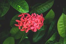 Free Red Flower In Greenery Royalty Free Stock Photography - 82955997