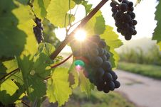 Free Grapes On Grapevine Royalty Free Stock Photo - 82956215