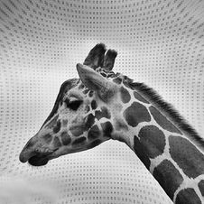 Free Giraffe Profile In Black And White Royalty Free Stock Images - 82956499