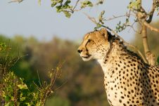 Free Cheetah In Wilderness Royalty Free Stock Photography - 82956557