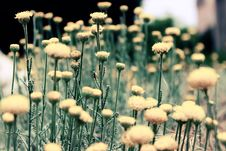 Free Dandelion Flowers In A Meadow Stock Images - 82956584