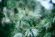 Free Close Up Photography Of Green Pine Tree Royalty Free Stock Photos - 82957188