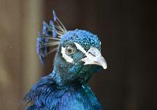 Free Peacock Blue Iridescent Head Royalty Free Stock Photo - 82957425