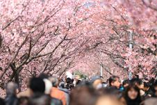Free Crown People Surrounded Cherry Blossom Trees In Daytime Stock Photography - 82957502