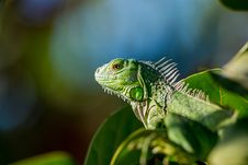 Free Green Iguana Lizard Stock Images - 82958624