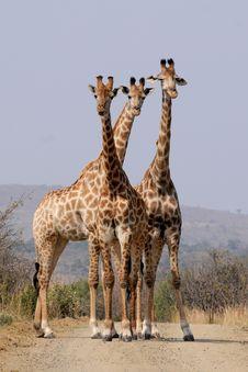 Free Three Giraffes Stock Image - 82959331