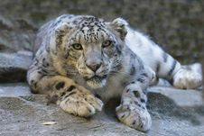 Free Snow Leopard In Crouch Stock Images - 82959394
