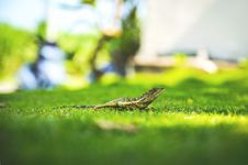 Free Green Lizard On Green Field Stock Images - 82959524