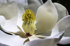 Free White Magnolia Flower In Bloom Stock Photos - 82959643
