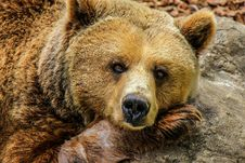 Free Brown Bear On Rock Stock Photography - 82959682