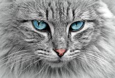 Free Grey Cat With Blue Eyes Royalty Free Stock Photography - 82959787