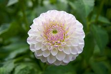 Free Closeup Of Pink And White Dahlia Royalty Free Stock Images - 82960099