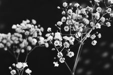 Free Baby S Breath In Black And White Stock Photography - 82960222