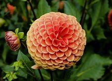 Free Orange Dahlia Flower Stock Images - 82960274
