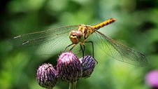 Free Dragonfly On Purple Flower Stock Photo - 82960310