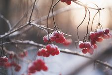 Free Red Berries Royalty Free Stock Photo - 82960335