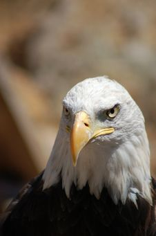 Free Portrait Of Eagle  Royalty Free Stock Image - 82960576