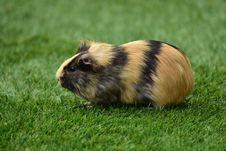 Free Cute Guinea Pig Royalty Free Stock Images - 82960679
