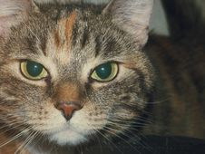 Free Portrait Of Tabby Cat Stock Images - 82961164