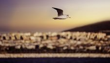 Free Sea Gull In Flight Royalty Free Stock Images - 82961259