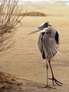 Free Blue Heron On Dune Royalty Free Stock Image - 82961356