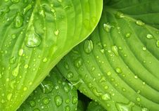 Free Water Drops On Green Leaves Stock Photo - 82961390