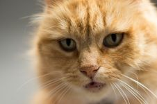 Free Cute Ginger Cat Portrait Royalty Free Stock Photos - 82961498