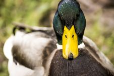 Free Mallard Duck Stock Photo - 82961640
