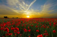 Free Red Cluster Petal Flower Field During Sunset Stock Images - 82961724