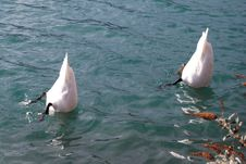 Free Swans Diving In Water Stock Photos - 82961763