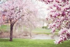 Free Pink Cherry Blossom Tree Stock Photography - 82961792