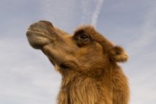 Free Camel Profile Stock Photography - 82961872