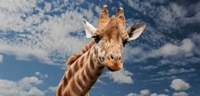 Free Brown Beige And White Giraffe Under White Clouds Royalty Free Stock Photography - 82961897