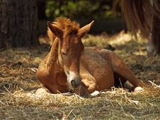 Free Resting Pony Stock Images - 82961914