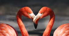 Free Flamingos With Beaks Touching Stock Photos - 82961993