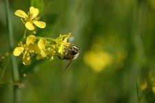 Free Bumblebee On Yellow Flower Stock Image - 82962101
