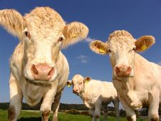 Free 3 Cows In Field Under Clear Blue Sky Stock Image - 82962181