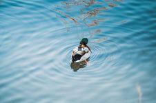 Free Mallard Duck On Pond Royalty Free Stock Photo - 82962315