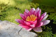 Free Pink And White Water Lily Stock Image - 82962461